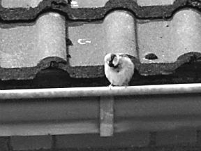 Vogelnest op dak
